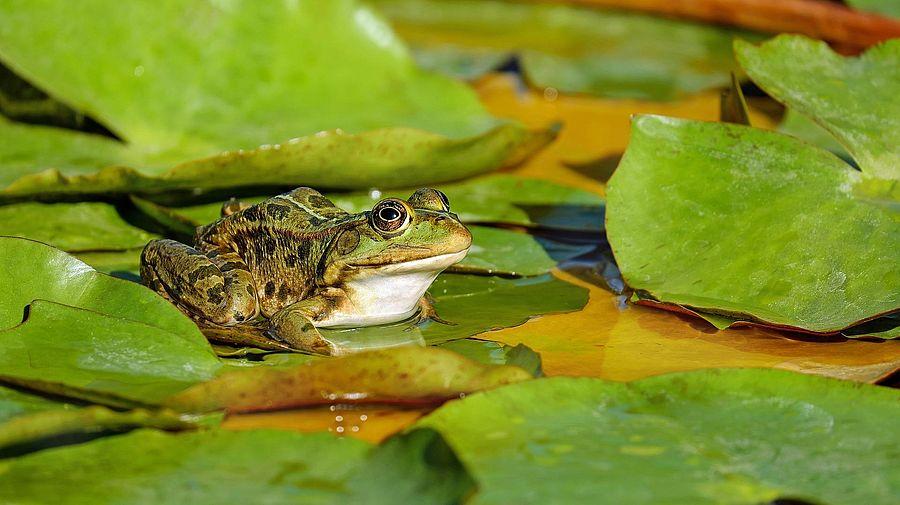 Biotop mit Frosch