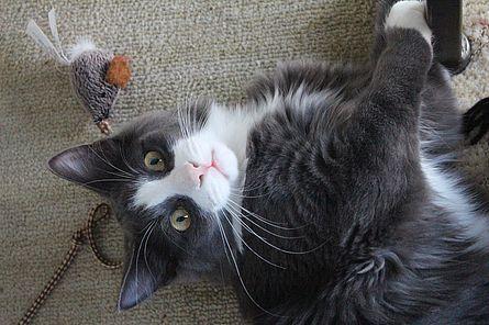 Katze schaut in die Kamera beim Spielen