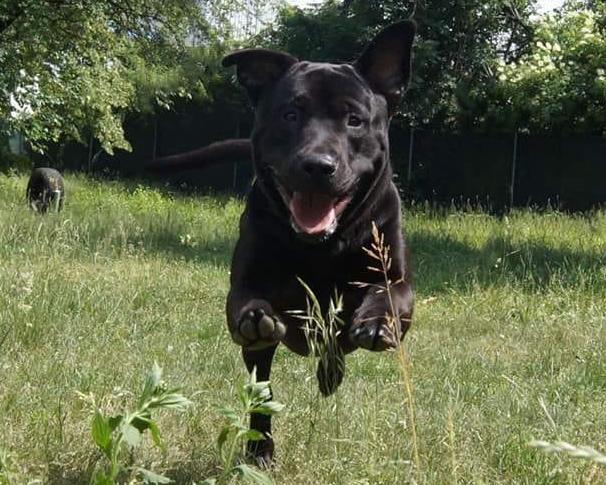 Hund Chester - Aufnahme beim Laufen im Gras
