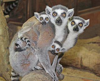 Lehre bei der Stadt Wels - Tierpfleger, Bild von Katta-Affen