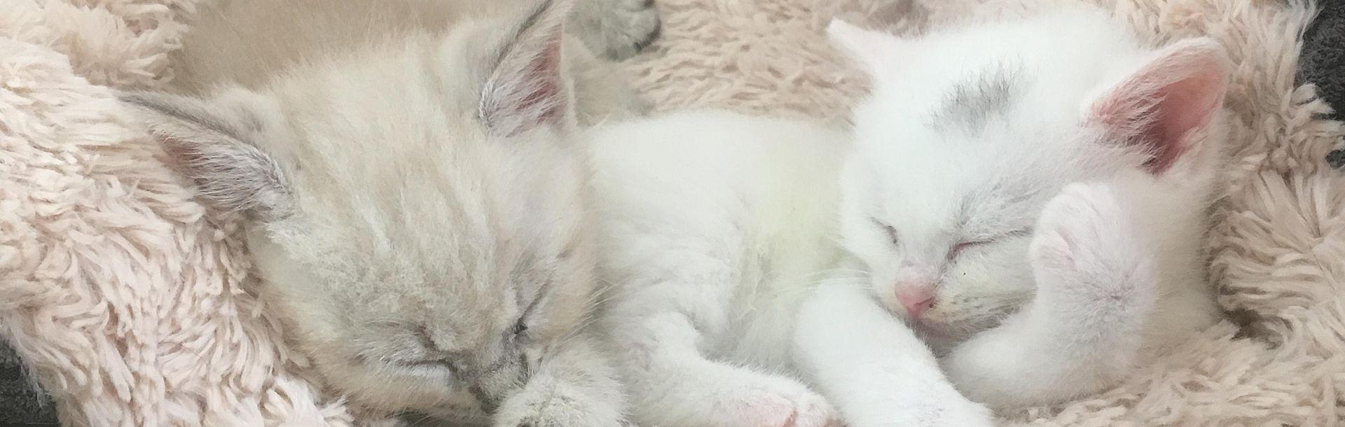 weiße Babykatzen