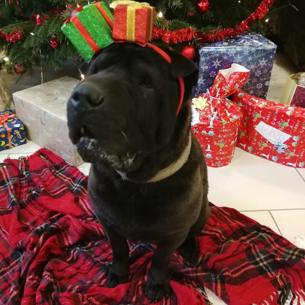 Hund in Weihnachtsstimmung mit Geschenkshaarreif